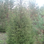 Живые елки